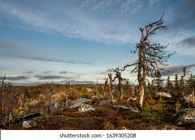 Crooked bare trees bizarre shape stands in the rocky wasteland on the top of Vottovaara mountain. Wasteland in the light of evening sun. Karelia. Russia.