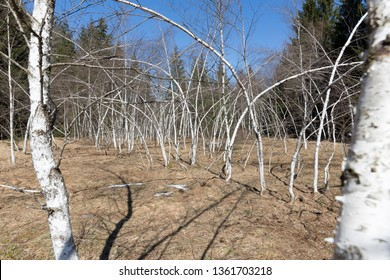 Crooked birch trees after heavy snowfall in early spring