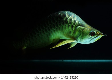 Crooked body arowana fish in the aquarium