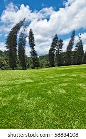 Crooked Cook Pines (Araucaria columnaris) in Peradeniya Botanical Gardens. Kandy, Sri Lanka