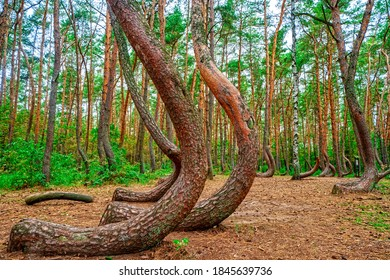 The crooked forest of Pomerania in Poland