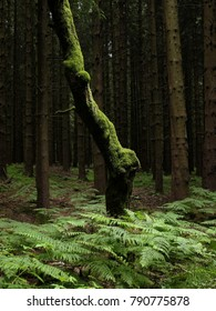 Crooked, moss covered tree trunk and ferns against a dark background of straight fir trees. Symbolic image of uniqueness, special character or misfit.