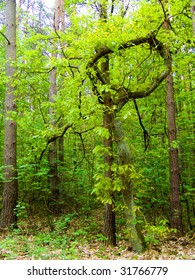 crooked oak tree in the forest