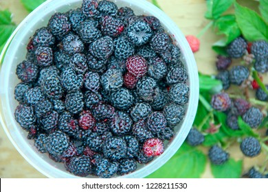 Crop of black raspberry berries. Ripe Rubus occidentalis in bucket. Bucket full of fresh and sweet black raspberries. Closeup of ripe raspberry. Harvest of Rubus occidentalis
