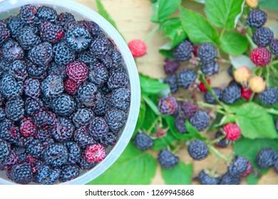 Crop of black raspberry berries. Ripe Rubus occidentalis in bucket. Bucket full of fresh and sweet black raspberries. Closeup of ripe raspberry. Harvest of Rubus occidentalis