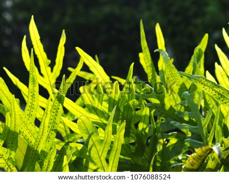 crop closeup on large green leaves of tropical plants, large garden decorative fern leaves, under natural sunlight outdoor selective focus with blur background