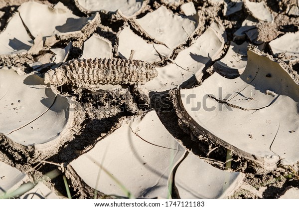 Crop failure. An old dried corncob lies on the dried and cracked farmland. Climate change is causing more and more crop failures in Europe.