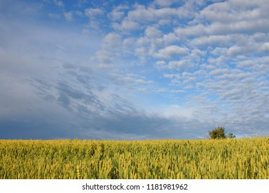 A crop field full of ripe wheat ready for harvest.