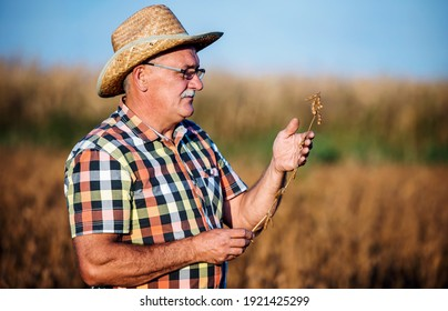 The crop is good this year. Farmer checking crop in a soybean field. Agricultural concept