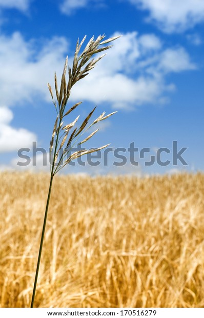 Crop, Grain, Cereal, Plant, Agriculture