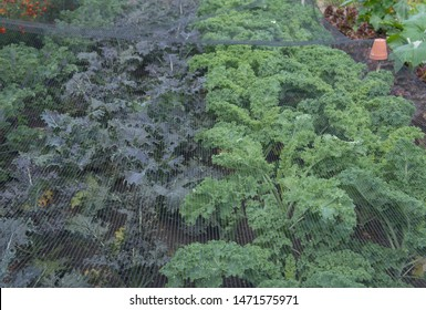 Crop of Home Grown Organic Kale (Brassica oleracea) Covered with Black Netting to Protect against Birds and Insects on an Allotment in a Vegetable Garden in Rural Somerset, England, UK