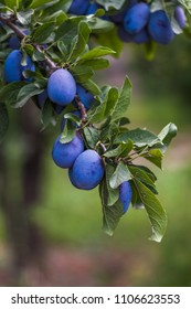 crop of plums on the tree