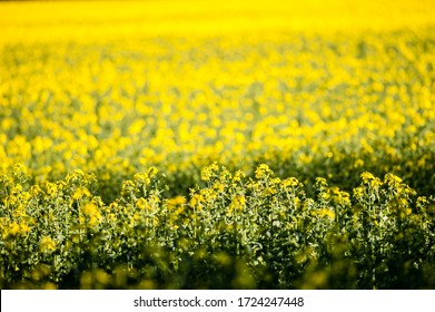 A crop of rapeseed plants in mid summer ready for harvest to make oil.