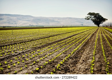 Crop rows in the central valley of California, hills in the background