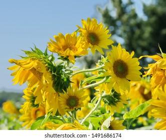 A crop of sunflowers in a field.