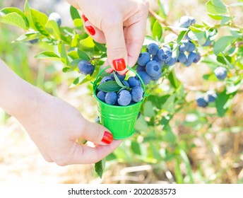 Crop view of female hands holding a small green bucket full of handpicked fresh blueberries near a bush at the berry farm