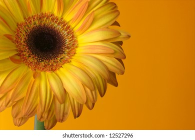 Crop of yellow-orange gerbera on orange background