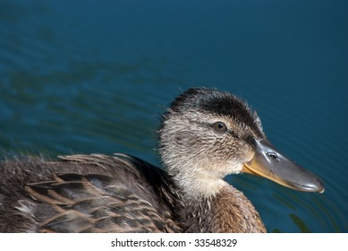 Cropped close up of young mallard duck.