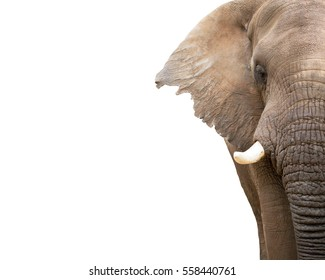 Cropped closeup of half of face of elephant. Isolated on white with room for text.