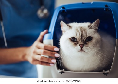 Cropped image of beautiful female doctor veterinarian with stethoscope is examining cute white cat at vet clinic.