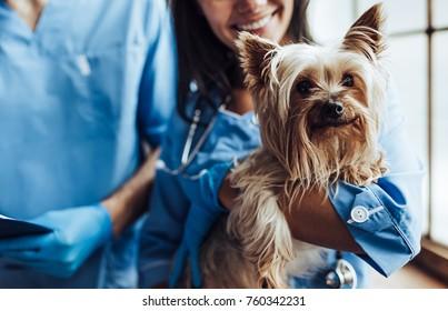 英俊的兽医和他有吸引力的助手在兽医诊所裁剪的图像正在检查小狗约克郡梗。