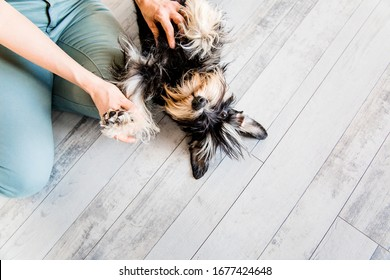 Cropped image of a young woman with a schnauzer dog indoors. Women are sitting on the floor with a dog. Dog handler