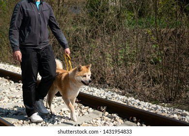Cropped man is walking an orange akita dog on the railroad on the yellow leash. The railroad is in nature and man and akita dog are taking a step at the same time.