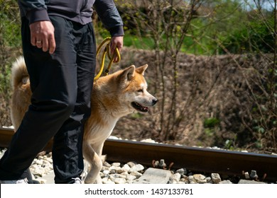 A cropped man is walking an orange akita dog on the yellow leash on the railroad. The orange akita dog has one paw up as it's making a step alongside the man, while looking forward.