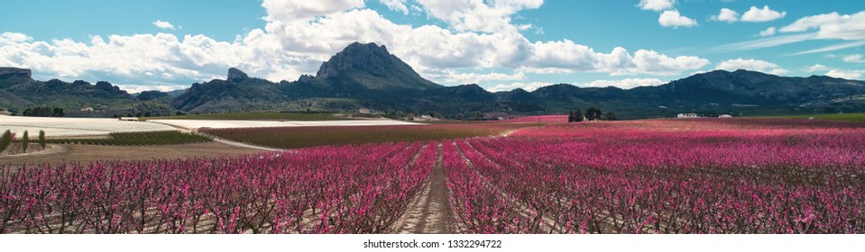 Cropped panoramic image bright pink color orchards in bloom. Fields with blossoming peach, plum and nectarine trees fruit trees, mountain range cloudy blue sky in Cieza, Murcia region. Spain