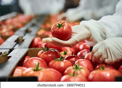 Cropped photo of an employee conducting the fresh produce quality control at the production site