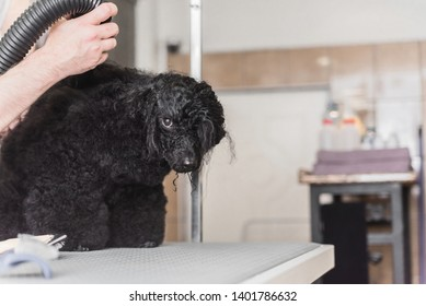 Cropped photo of male hands styling and blowdrying poodle's hair after shower