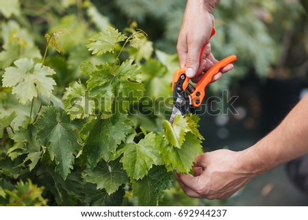 cropped shot of gardener hands cutting green leaves with pruning shears