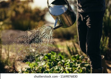 Cropped shot of man waters vegetables with sprinkling can on farm. Male farmer giving water to the crops with watering can.