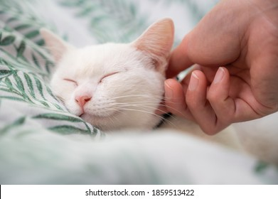 Cropped shot of someone hand scratching and plying a white cat while sleeping. Cats sleep an average of 15 hours per day.