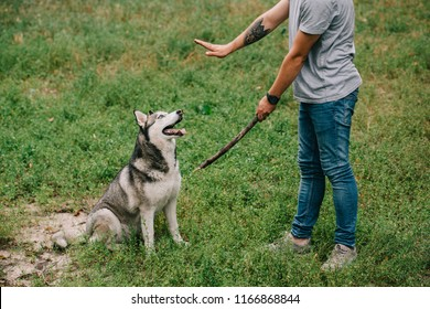 cropped view of man training command to sit while playing stick with obedient husky dog