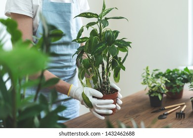 Cropped view of young gardener woman replant plant in new brown pot standing behind wooden table at home. Woman holding flowerpot in hands