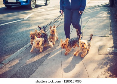 Cropped Woman walking yorkie, Yorkshire Terrier dogs on the city street. Dogs in movement. Part-time job. Selective focus. copy space