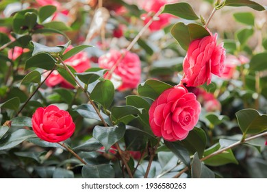 a cropped-up photo of a camellia blooming