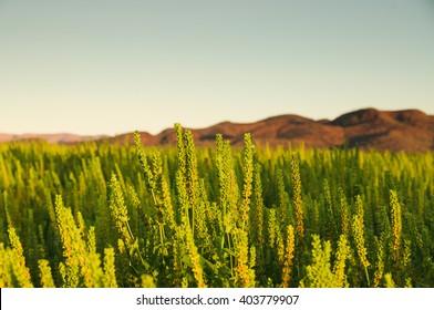 Crops in Kununurra, Western Australia