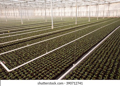 Crops in a large scale Nursery Greenhouse in the Netherlands