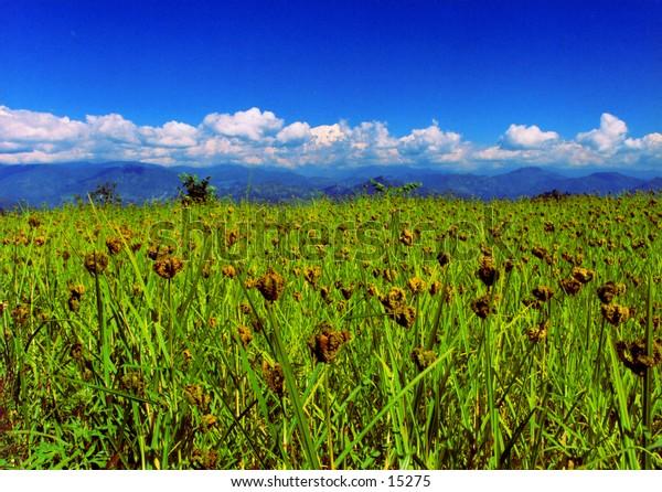 Crops in Nepal