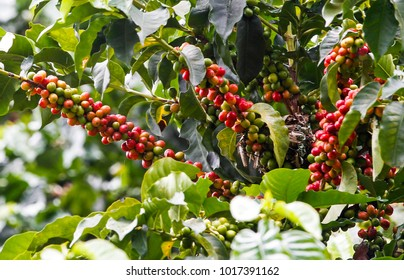 Crops, plantation, coffee, grain, Antioquia, Colombia, this department of Antioquia grows high quality coffee export type, their farms are of a beauty