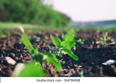 Crops planted in rich soil get ripe under sun.Plants sprout grow in black dirt.Cultivated land close up.Agricultural background.Natural organic food farm