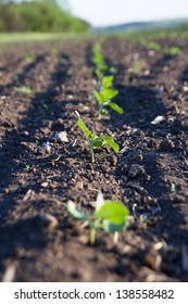 Crops planted in rich soil grow in sun.Plants grain sprout grow in black dirt.Cultivated land close up.Agriculture plant growing in bed row.Sprouting agricultural plant.Green natural food crops grows