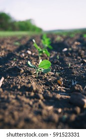 Crops planted in rich soil growing in field on farm.Plants sprouts grow in black dirt outdoor.Cultivated land.Agriculture plant growing in bed rows.Natural organic food background