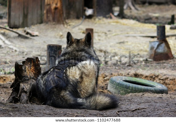 Cross Between Wolf Canis Lupus Tundrarum Stock Photo (Edit