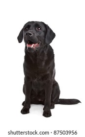 cross breed dog of a Labrador and a Flat-Coated Retriever in front of a white background