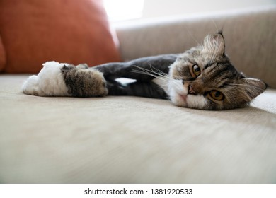 Cross breed domesticated Maine Coon Persian cat laying on a sofa staring at the camera