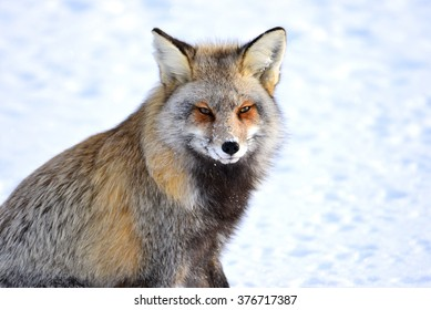 Cross Fox: The cross fox derives its name from the vertical dark band running down the back, which is intersected with another horizontal band across the shoulders.