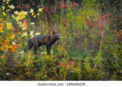 Cross Fox (Vulpes vulpes) Stands in Weeds Autumn - captive animal